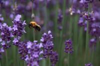 ラベンダー&蜂